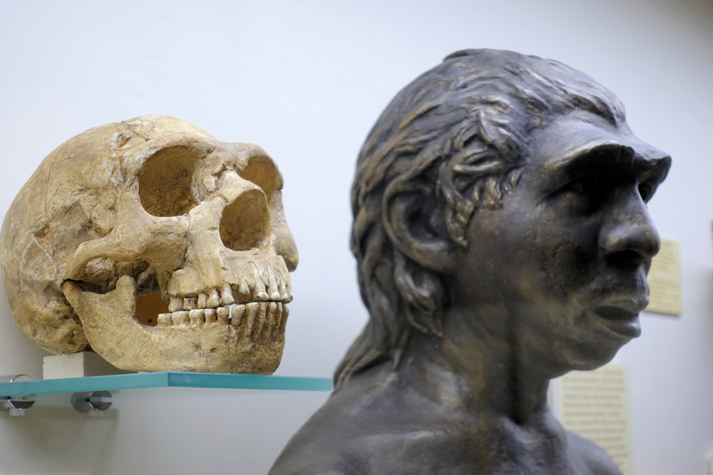 Crane d'homme de Néanderthal dans un musée