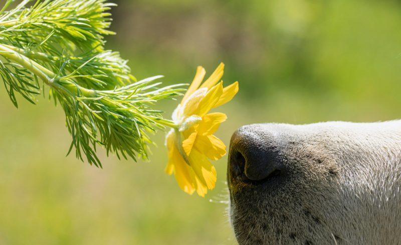 chien sentant une fleur